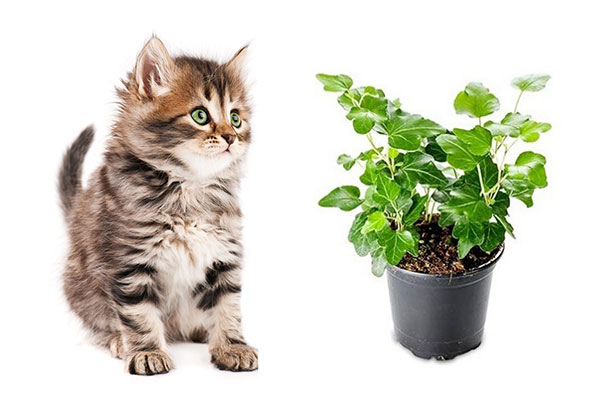 Is English Ivy Toxic To Cats?