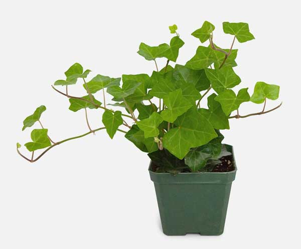English Ivy in pot