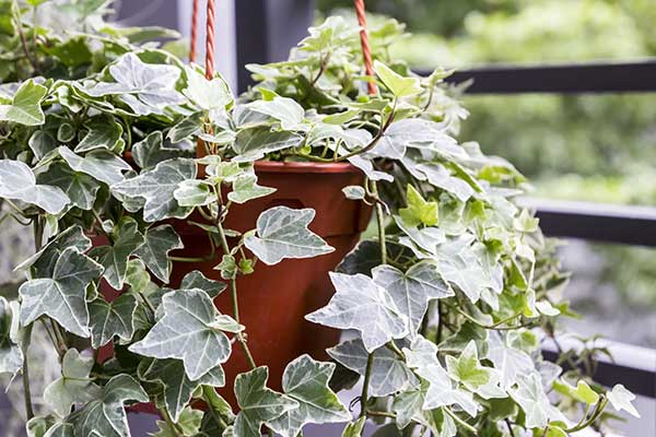 is English Ivy safe for cats?
