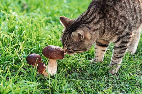 Which Mushroom Varieties Are Safe For Cats?