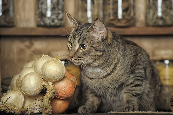 How much onion will hurt a cat?