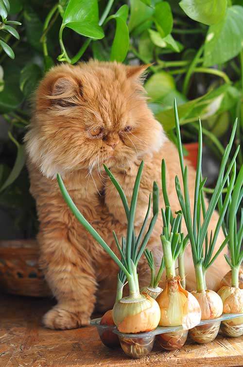 Are green onions poisonous to cats?