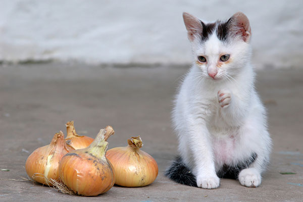 What to Do If Your Cat Ate Onion?