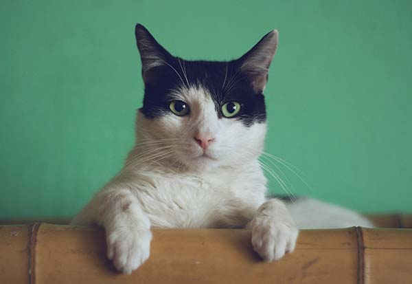 Cute Blank & White Cat Looking at The Camera
