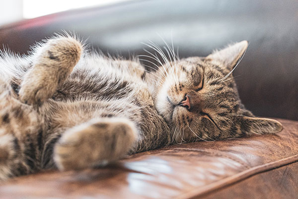 Do Cats Dream About Their Owners?